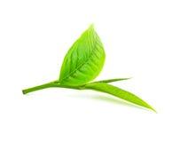Grünes Teeblatt lokalisiert auf weißem Hintergrund Stockbild