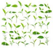 Grünes Teeblatt lokalisiert auf weißem Hintergrund Stockbilder