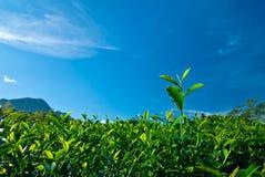Grünes Teeblatt mit blauem Himmel Stockfoto