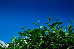 Grünes Teeblatt mit blauem Himmel Stockbilder