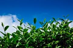 Grünes Teeblatt mit blauem Himmel Lizenzfreies Stockbild