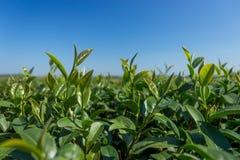 Grünes Teeblatt mit blauem Himmel Lizenzfreie Stockfotos