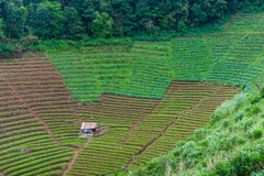 Grünes terassenförmig angelegtes Gemüse und altes Häuschen am chiangmai Thail Stockfoto