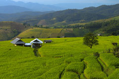 Grünes terassenförmig angelegtes Reis-Feld in Chiangmai, Thailand Stockfotografie