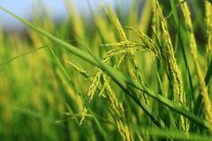 Grünes terassenförmig angelegtes Reis-Feld, Thailand Stockfotografie