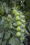 Grünes Tomatewachsen Stockbild