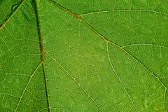 Grünes transparentes Blatt Lizenzfreie Stockfotografie