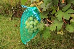Grünes Traubenbündel in der schützenden vor Schaden zu schützen Tasche, sich durch wa Stockfotografie