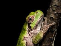 Grünes treefrog mit orange Augen hängt an, um Niederlassung zu brünieren Stockbilder