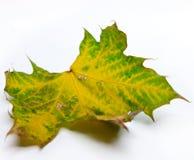 Grünes trockenes Ahornblatt Stockfoto