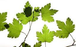 Grünes trockenes Blatt Stockbild