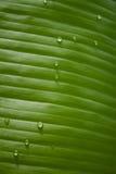 Grünes tropisches Blatt mit Tropfen des Taus Stockbild