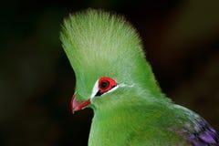 Grünes Turacoporträt Stockfoto