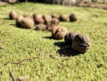 Grünes Umweltlandwirtschafts-Parkblatt des Naturnussgrases im Freien lizenzfreie stockfotografie