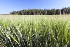 Grünes unausgereiftes Getreide Lizenzfreies Stockfoto