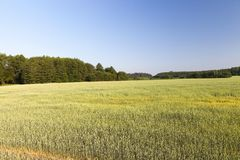 Grünes unausgereiftes Getreide Lizenzfreie Stockfotografie