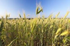 Grünes unausgereiftes Getreide Stockfoto