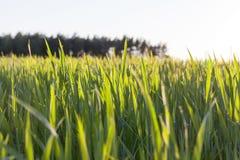 Grünes unausgereiftes Getreide Lizenzfreies Stockbild