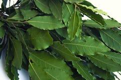 Grünes und frisches Lorbeerblatt Das Lorbeerblatt ist ein populäres Gewürz beim Kochen und Durchschnitte von Volksmedizin Lizenzfreie Stockfotos