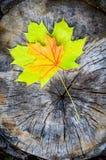Grünes und gelbes Ahornblatt im Herbst (Acer platan Stockbild