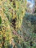 Grünes und gelbes Baumeln unten von einem Baum lizenzfreie stockfotos