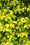 Grünes und gelbes Blatt des Hintergrundes auf Garten im Freien Lizenzfreie Stockfotografie