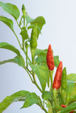 Grünes und rotes Paprikawachsen Lizenzfreie Stockbilder