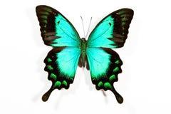 Grünes und schwarzes Basisrecheneinheit Papilio lorquinianus Stockfotos