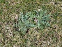 Grünes Unkraut mit Spitzen im grünen Gras oder im Rasen stockbilder