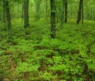 Grünes Unterholz in einem Wald Lizenzfreies Stockfoto