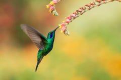 Grünes violetear nahe bei roter Blume, Vogel im Flug schweben, Gebirgstropischer Wald, Costa Rica stockfoto