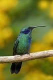 Grünes Violett-Ohr, Colibri-thalassinus, Grüner und Blauer Kolibri mit gelben Blumen im backgroun, Naturlebensraum, Tropen für Stockbild