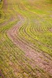 Grünes wachsendes Korn früh im Frühjahr Stockbild
