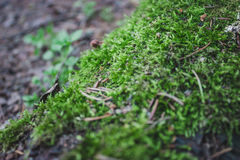 Grünes Waldmoos Stockbild