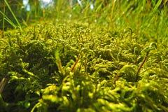Grünes Waldmoos an einem sonnigen Tag und etwas Gras hinten Stockfotos