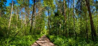 Grünes Waldpanorama Stockfoto