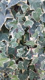 Grünes Weiß des Efeus Lizenzfreie Stockfotografie