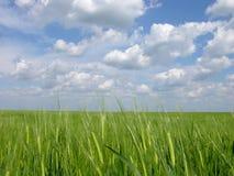 Grünes Weizen-Feld Stockfotos