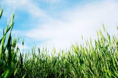 Grünes Weizen-Feld Stockbild