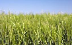 Grünes Weizen-Feld Lizenzfreie Stockfotografie