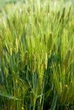 Grünes Weizenfeld Lizenzfreie Stockfotografie