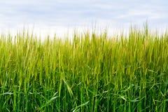 Grünes Weizenfeld Lizenzfreie Stockbilder