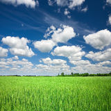 Grünes Weizenfeld stockfotografie