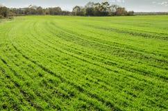 Grünes Weizenfeld lizenzfreies stockfoto