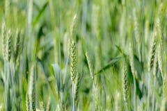 Grünes Weizenfeld Lizenzfreie Stockfotos