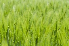 Grünes Weizenfeld stockfotos