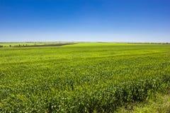 Grünes Weizenfeld stockbilder