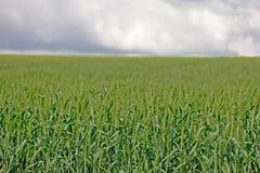 Grünes Weizenfeld 3 lizenzfreies stockbild