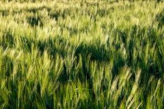 Grünes Weizenfeld Stockbild