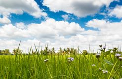 Grünes Weizenfeld auf Hintergrund des blauen Himmels Lizenzfreie Stockfotografie